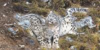澜沧江源正成为全球最佳雪豹自然体验点 - 人民政府