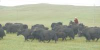 """调结构,抓品牌,我省""""牛产业""""上档升级系列报道之二 玉树果洛牦牛产业支撑脱贫绿色发展 - Qhnews.Com"""
