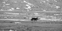 三江源国家公园首次发现罕见黑狼 - 西宁市环境保护局
