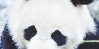 雪中大熊猫 - Qhnews.Com
